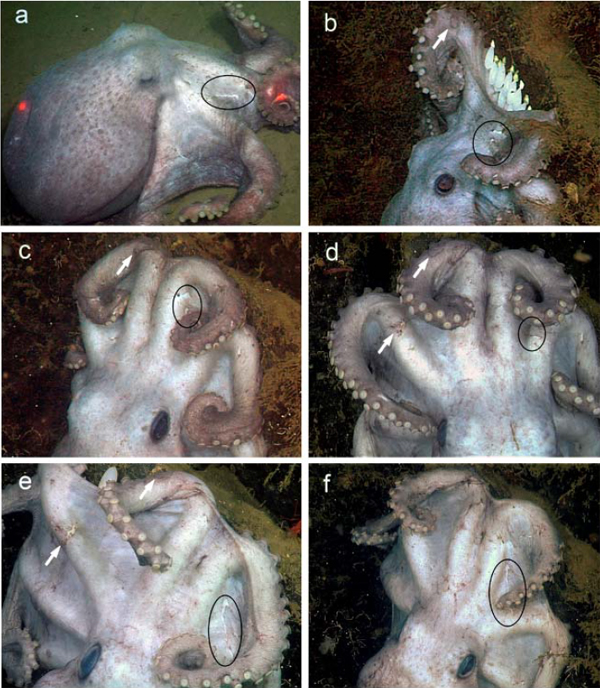 Deep-sea-octopus