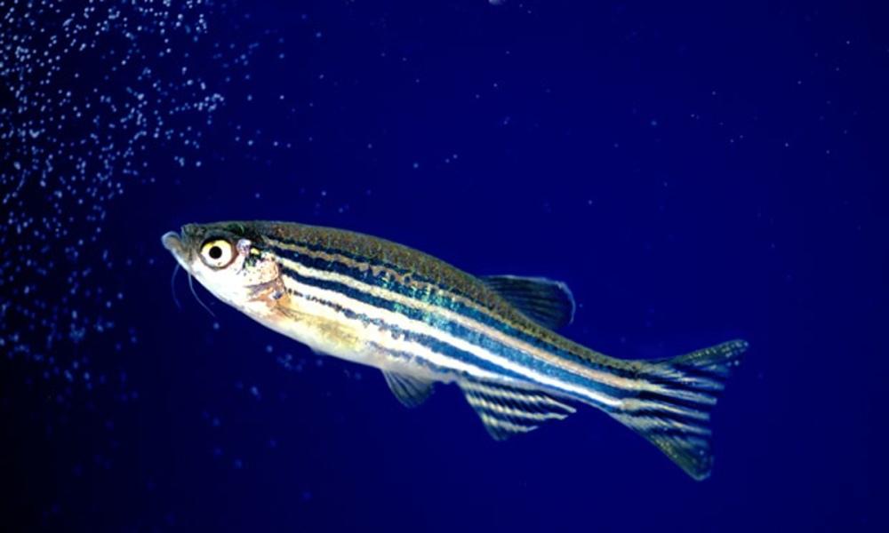 Zebrafish-aquarium.--011